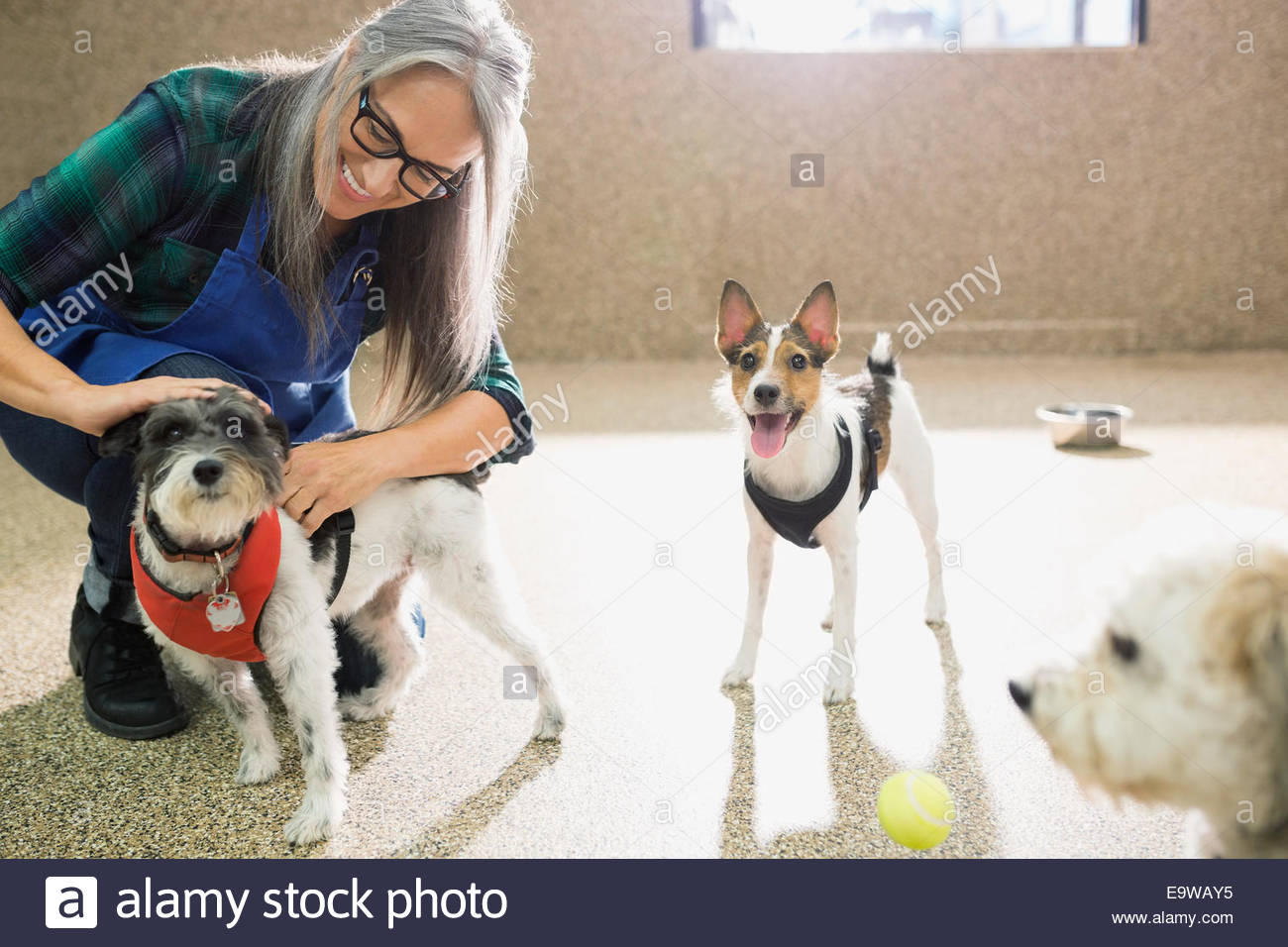 Dog daycare owner tending to dogs - Stock Image
