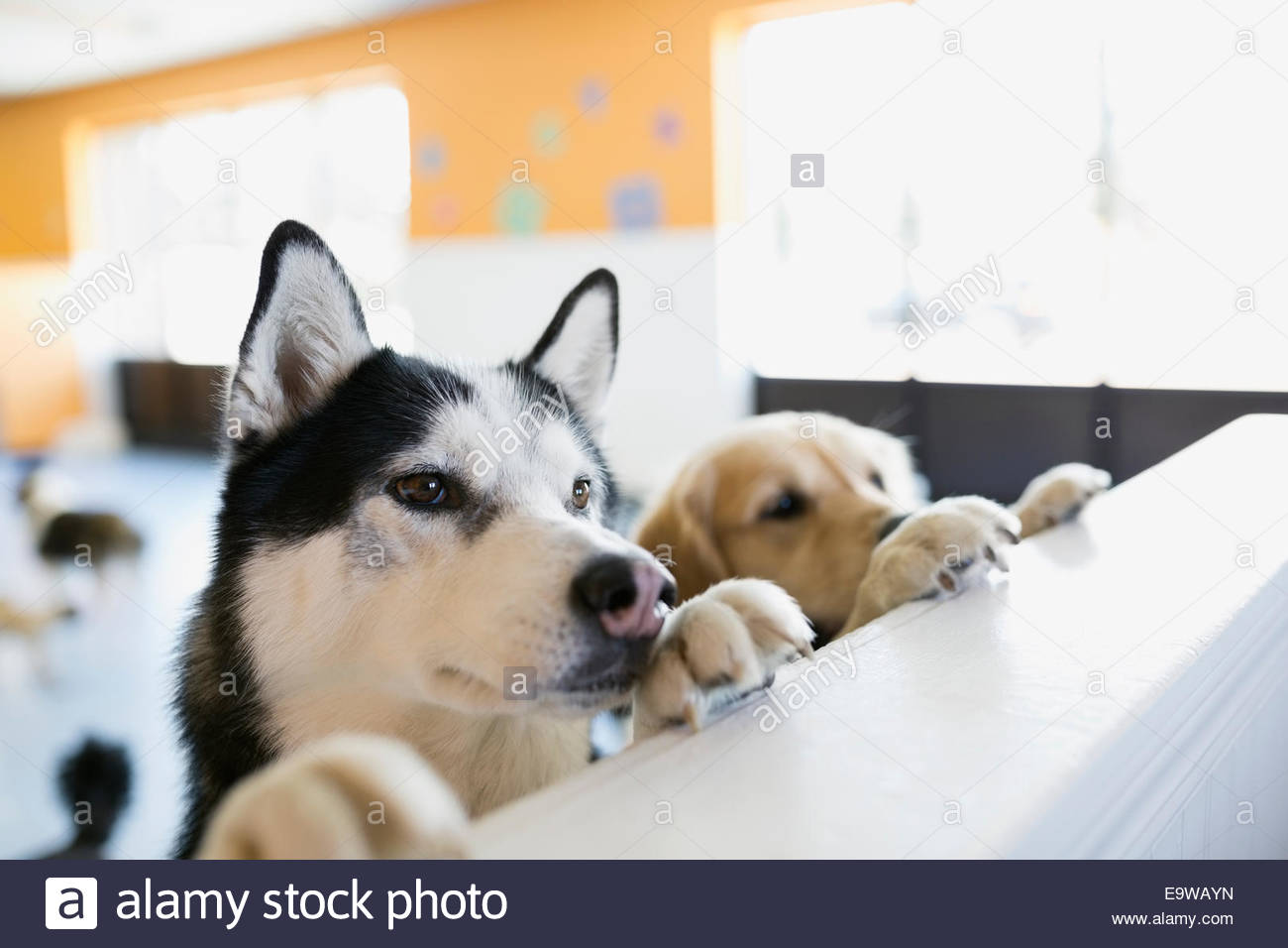 Curious dogs leaning on dog daycare counter - Stock Image