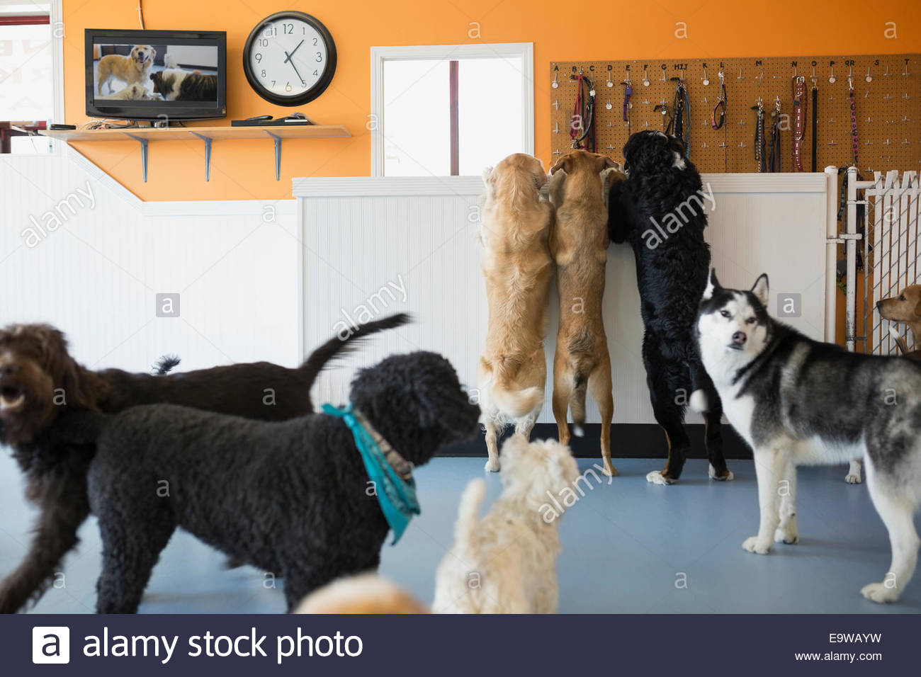 Dogs playing in dog daycare - Stock Image