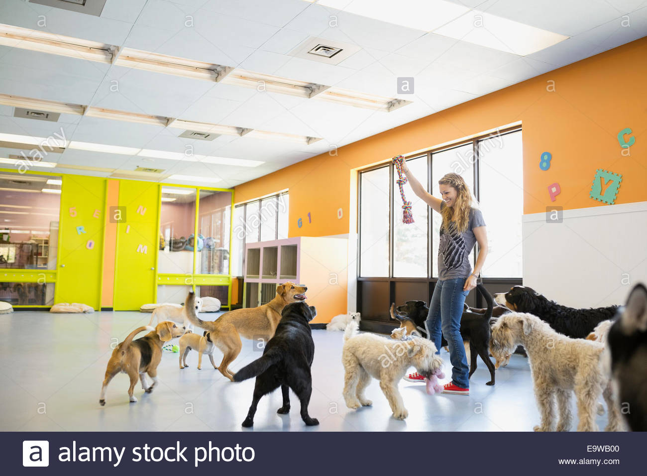 Woman playing with dogs at dog daycare - Stock Image