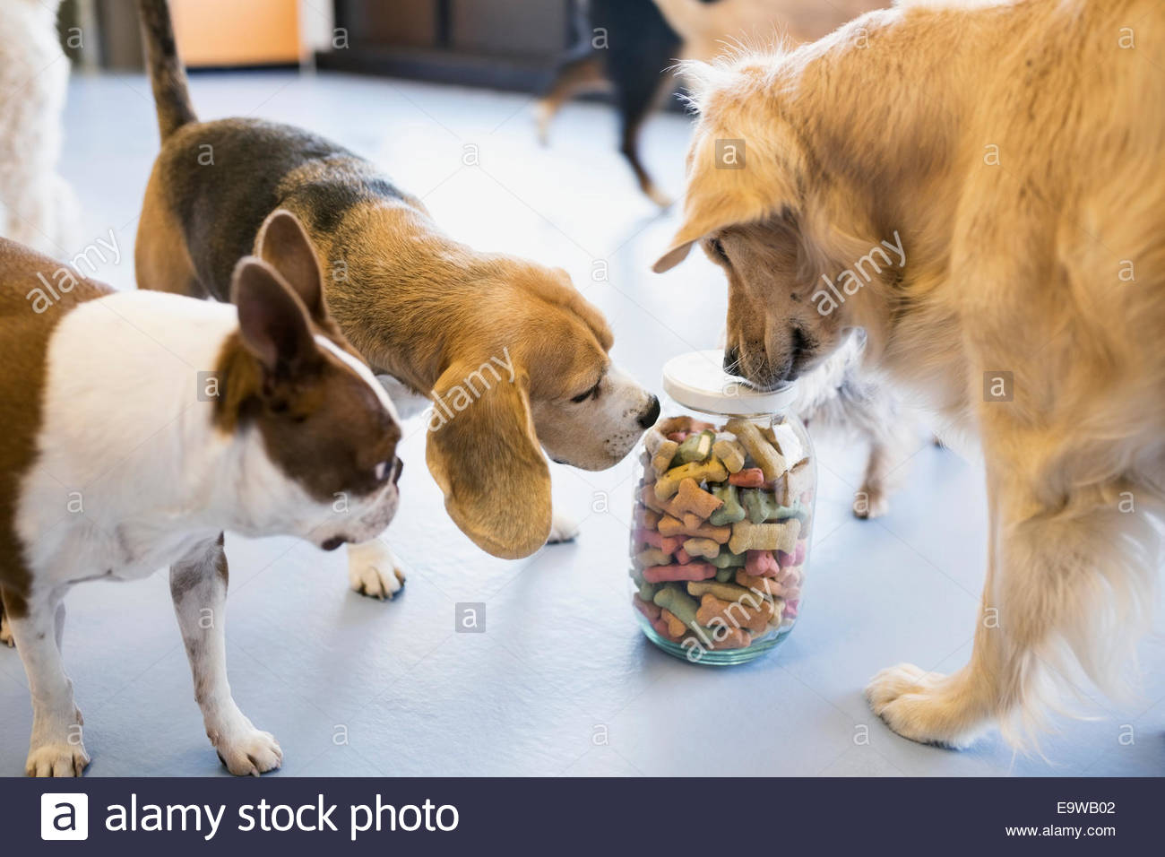 Dogs sniffing jar with biscuits - Stock Image