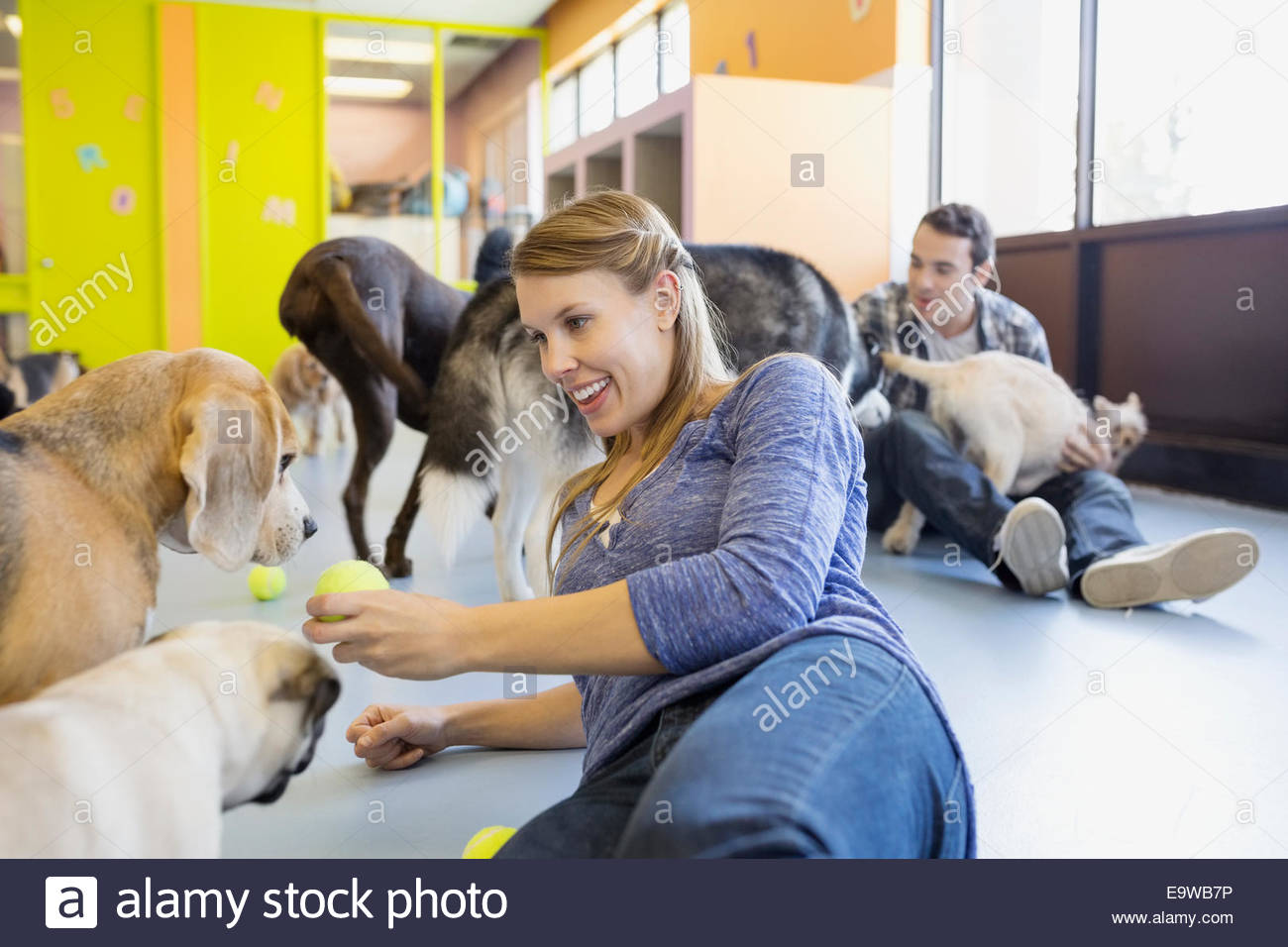 Daycare owner with tennis ball playing with dogs - Stock Image