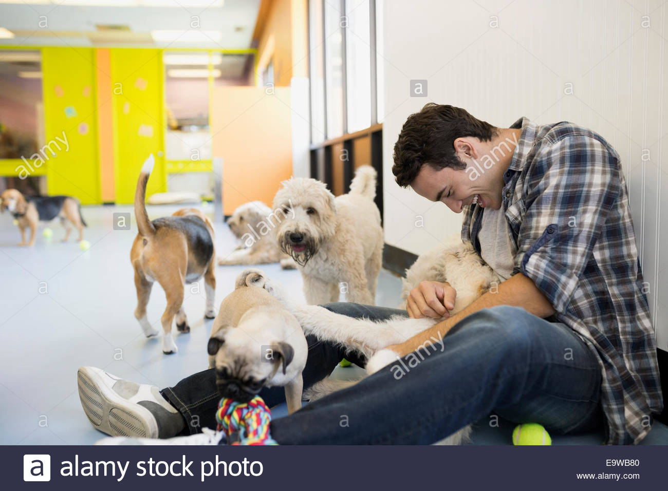 Man playing with dogs at dog daycare - Stock Image
