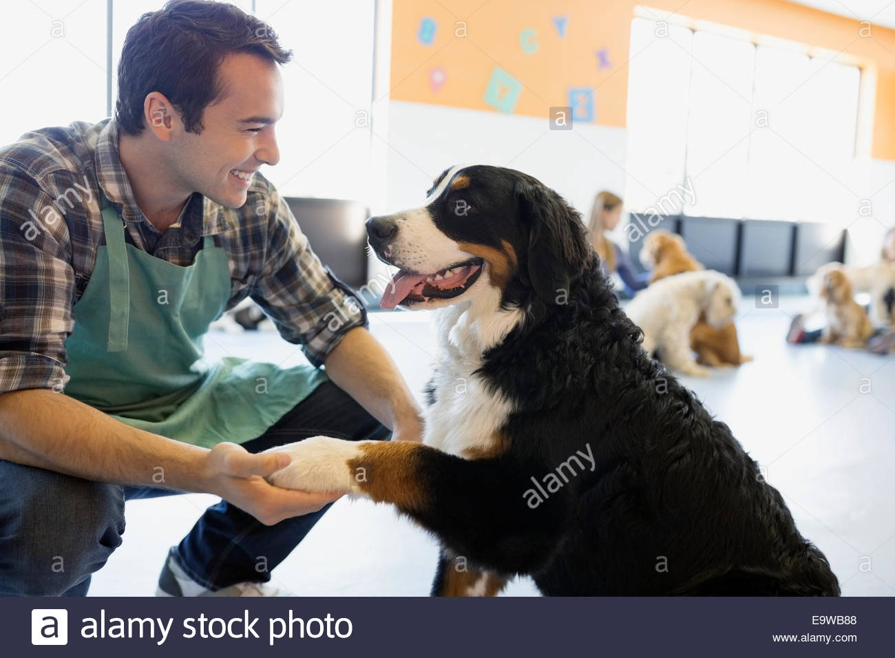 Dog daycare owner shaking hands with Saint Bernard - Stock Image