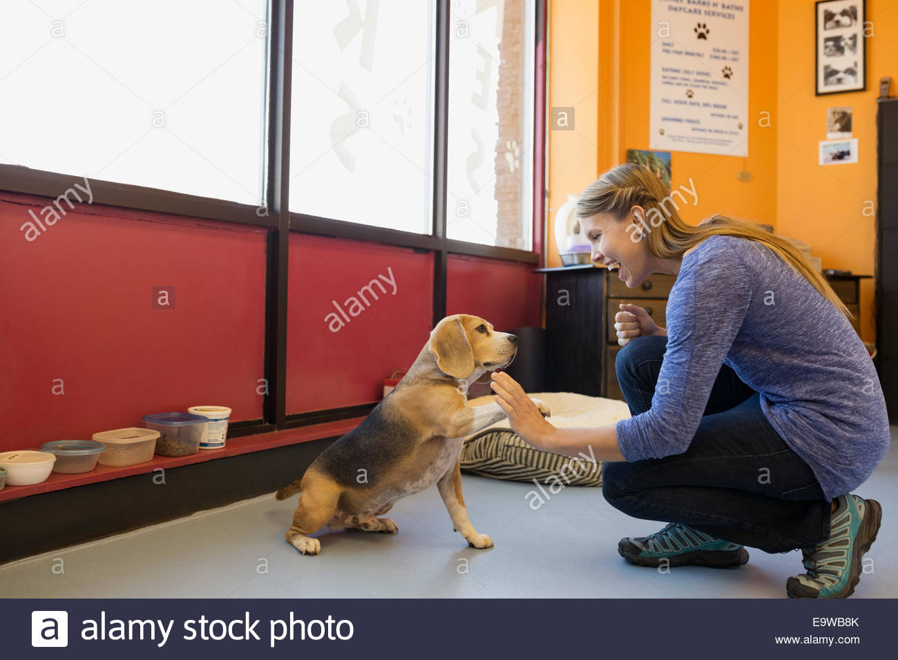 Dog daycare owner high-fiving Beagle in office - Stock Image