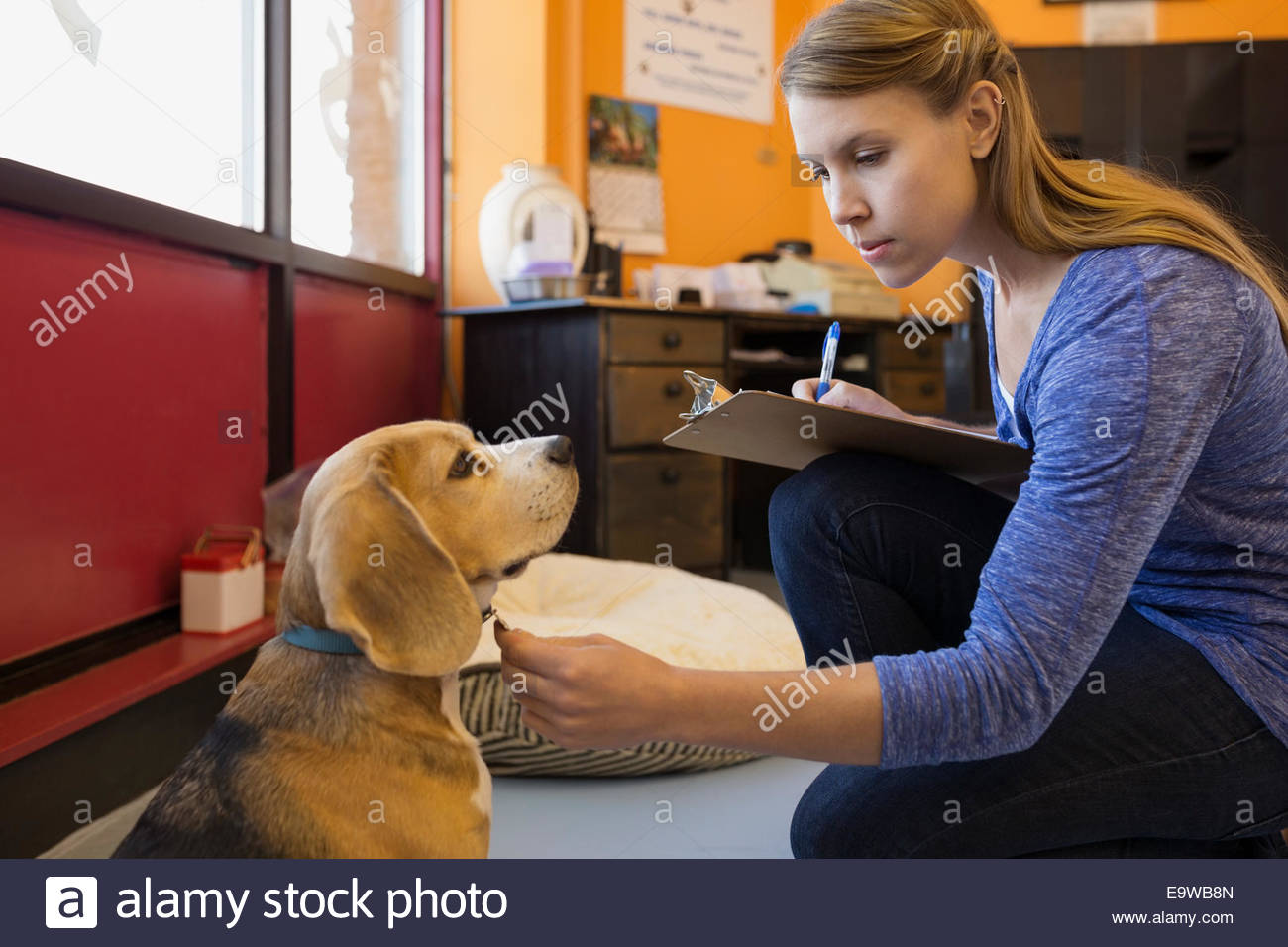 Dog daycare owner checking collar of Beagle - Stock Image