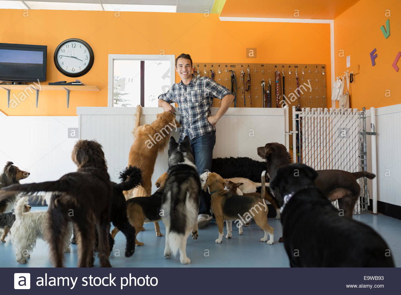 Dogs looking up at smiling dog daycare owner - Stock Image