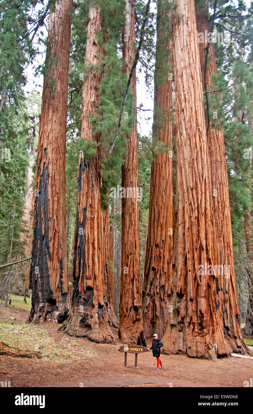 Sequoia National Park's Senate Group of sequoia trees on Congress Trail in Giant Forest. - Stock Image