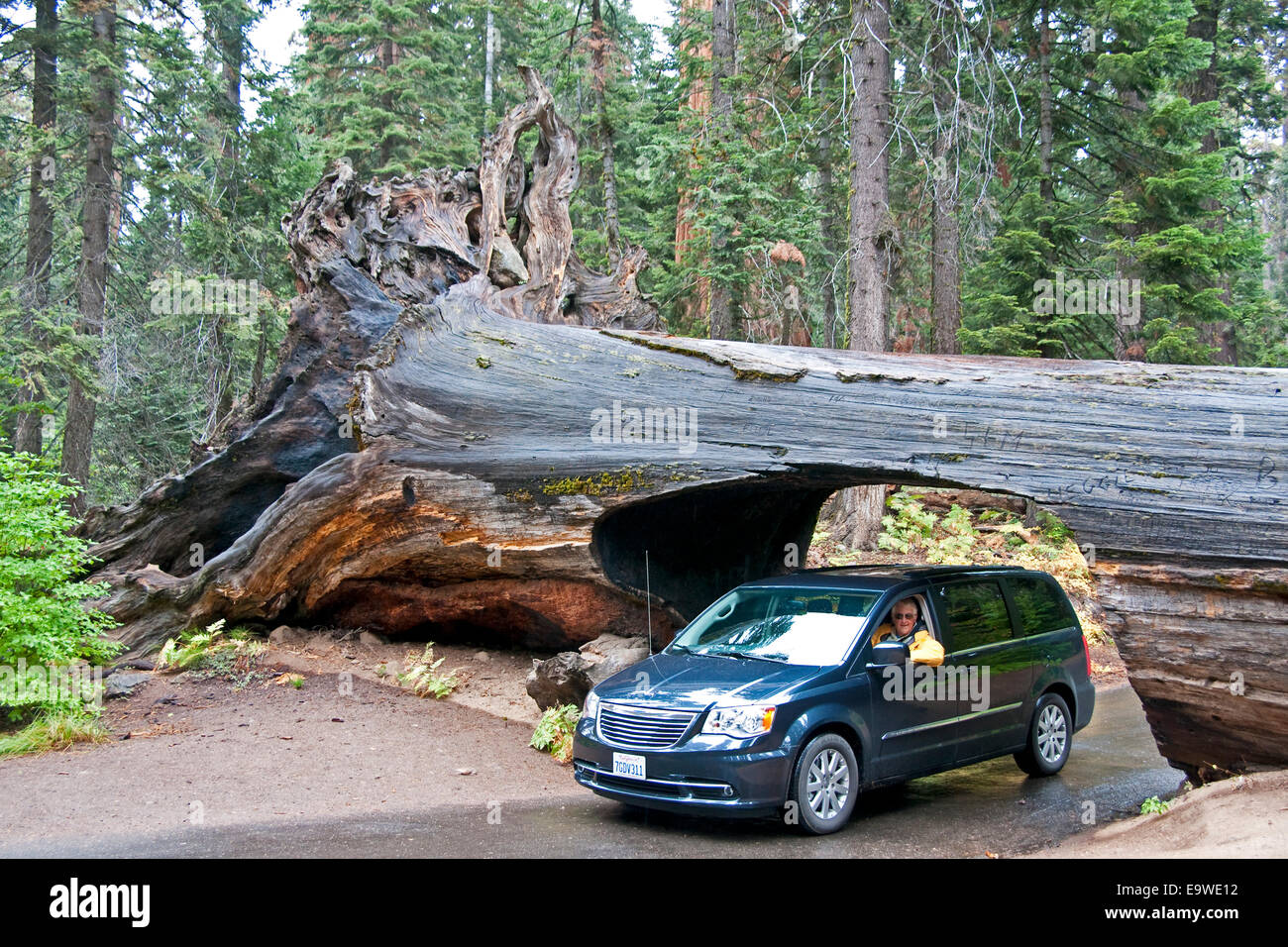 sequoia national park car driving through tunnel log stock photo 74933182 alamy. Black Bedroom Furniture Sets. Home Design Ideas