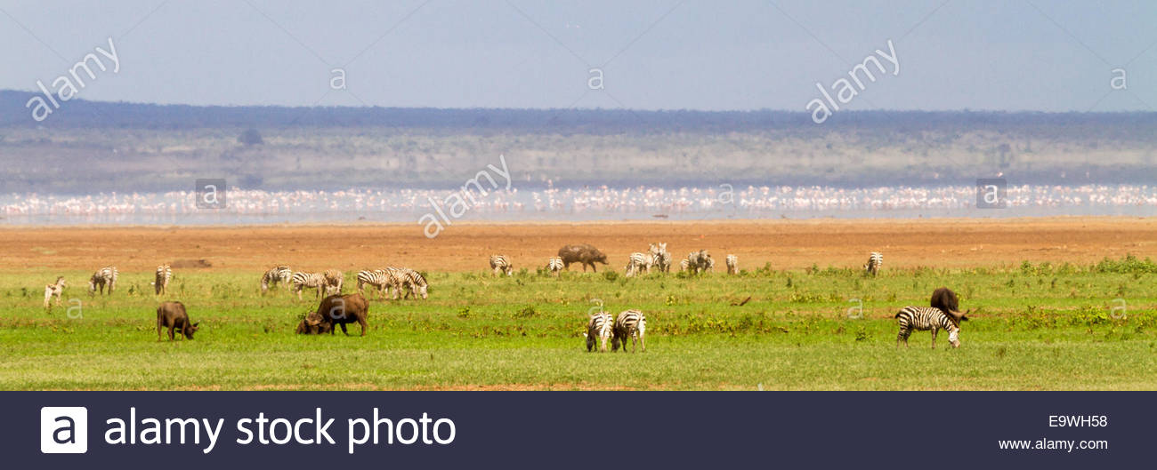 Zebras and cows at Lake Manyara National Park - East Africa - Tanzania - Stock Image