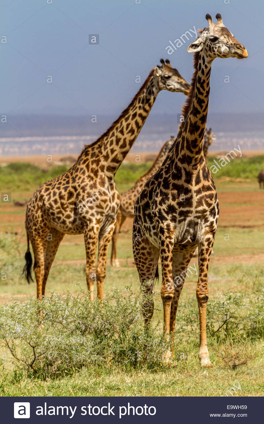 Giraffes at Lake Manyara National Park - East Africa - Tanzania - Stock Image