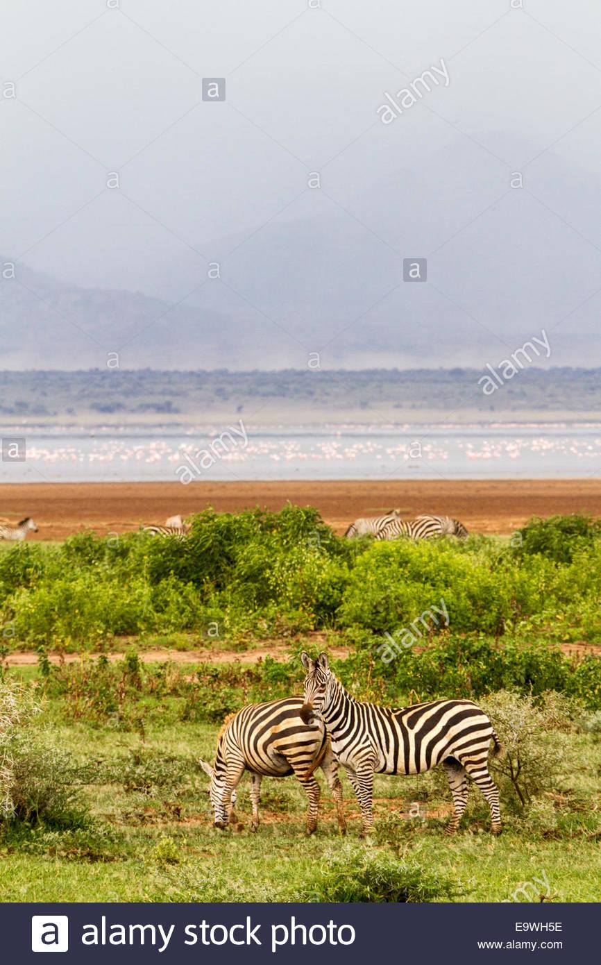 Zebras at Lake Manyara National Park - East Africa - Tanzania - Stock Image