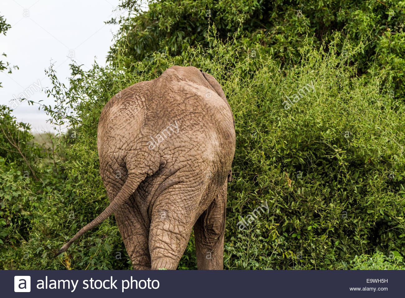 Elephant at Lake Manyara National Park - Tanzania - Stock Image