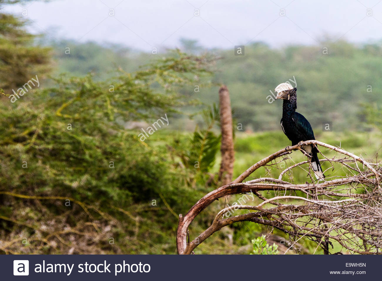 Silvery-cheeked hornbill perching on tree - East Africa - Tanzania - Stock Image