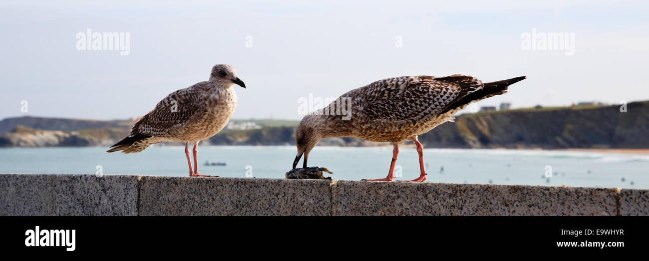 Seagulls eating on Newquay harbour wall Cornwall England UK - Stock Image
