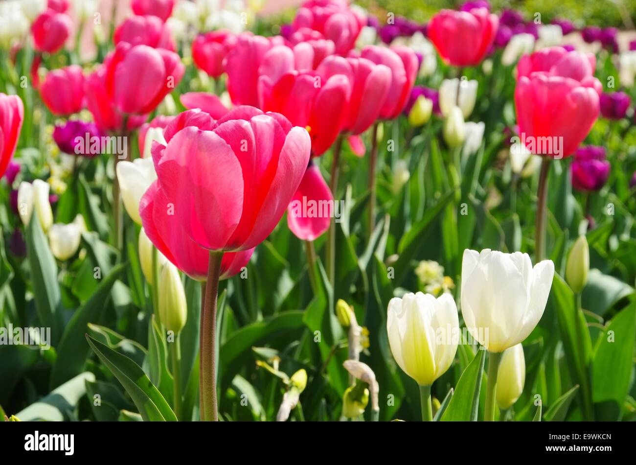 Tulpe rot weiss - tulip red white 01 - Stock Image