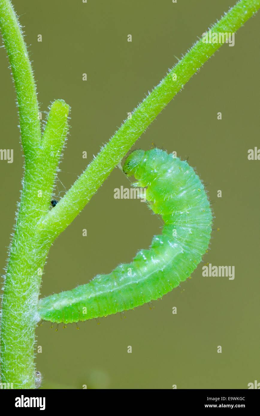 A pupating larva of the Wandering Snowflake - Stock Image