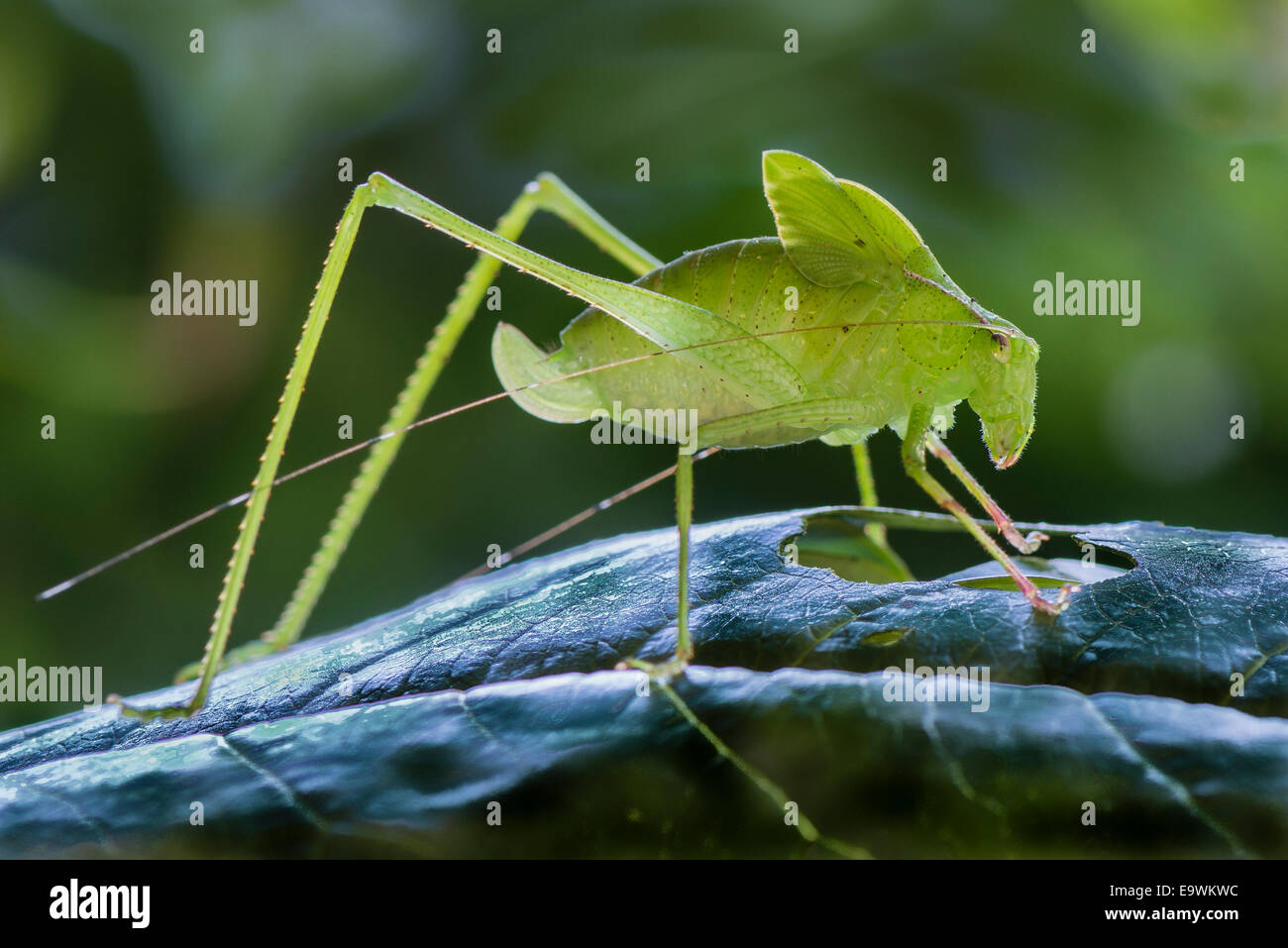 A Costa Rican Leaf Katydid on a leaf - Stock Image