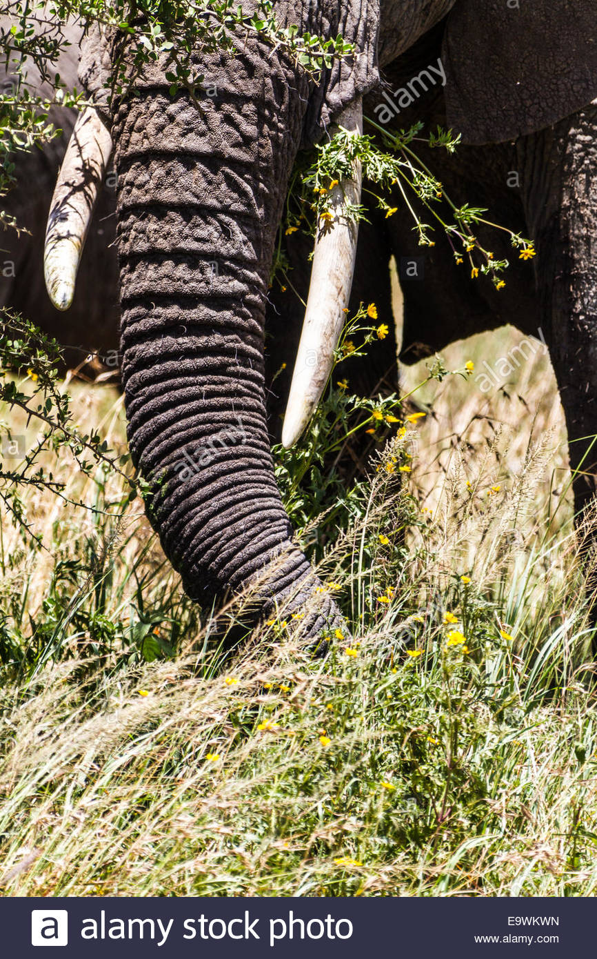 Close-up of elephant trunk - East Africa - Tanzania- Serengeti National Park - Stock Image