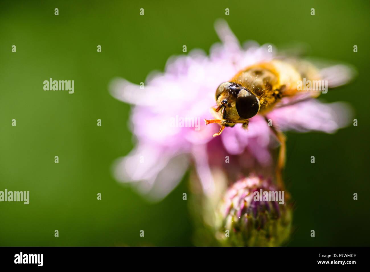 Hover-fly on knapweed near Garstang Lancashire - Stock Image