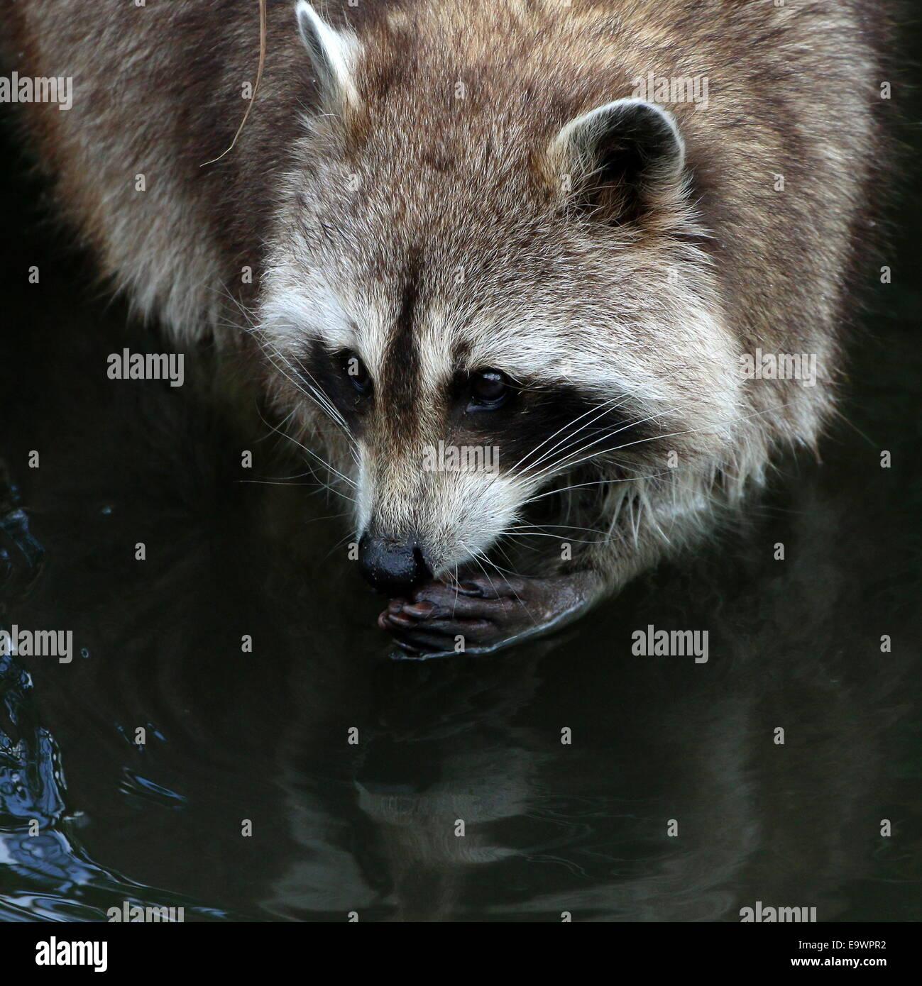 Raccoon Eating Food Stock Photos Raccoon Eating Food Stock Images