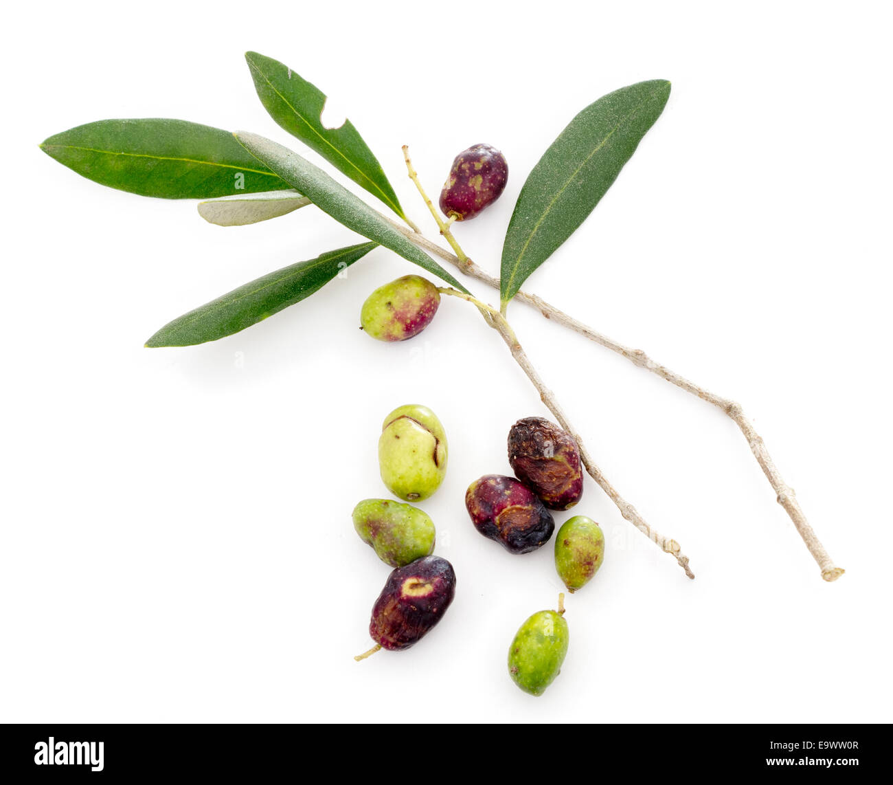 Ill olives. Harvest and production well down this year. Price of olive oil likely to go up. 2014. - Stock Image