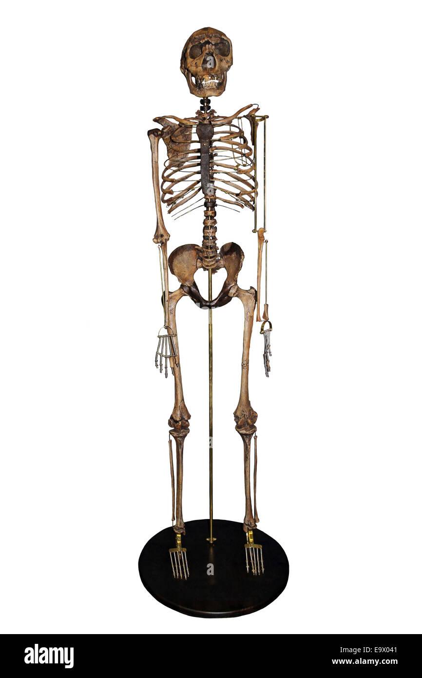 Nariokotome Boy Homo ergaster Skeleton - Stock Image