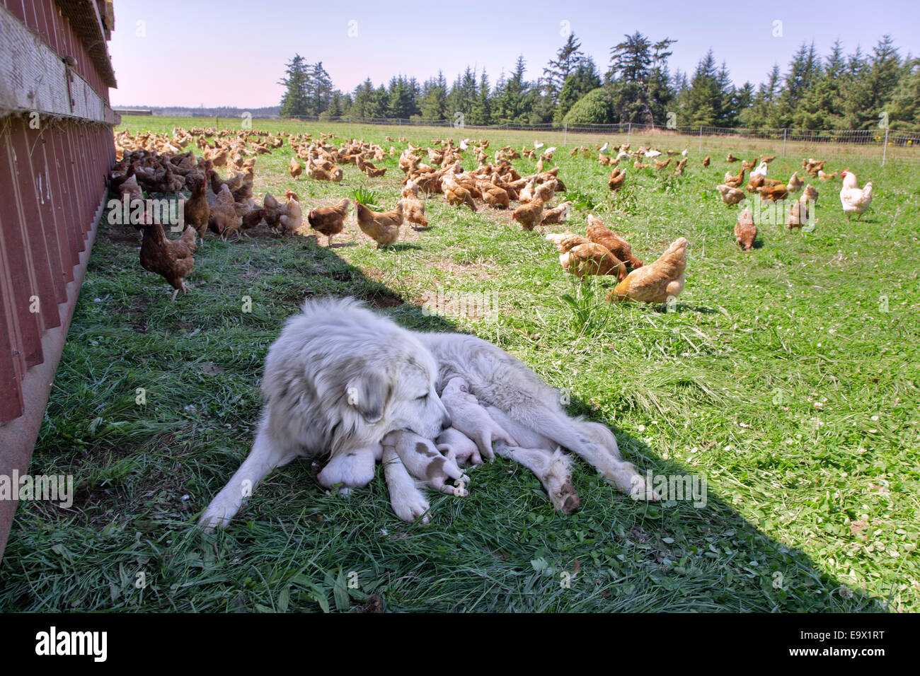 Great Pyrenees mother with one week old puppies, free roaming Eco organic chickens. - Stock Image
