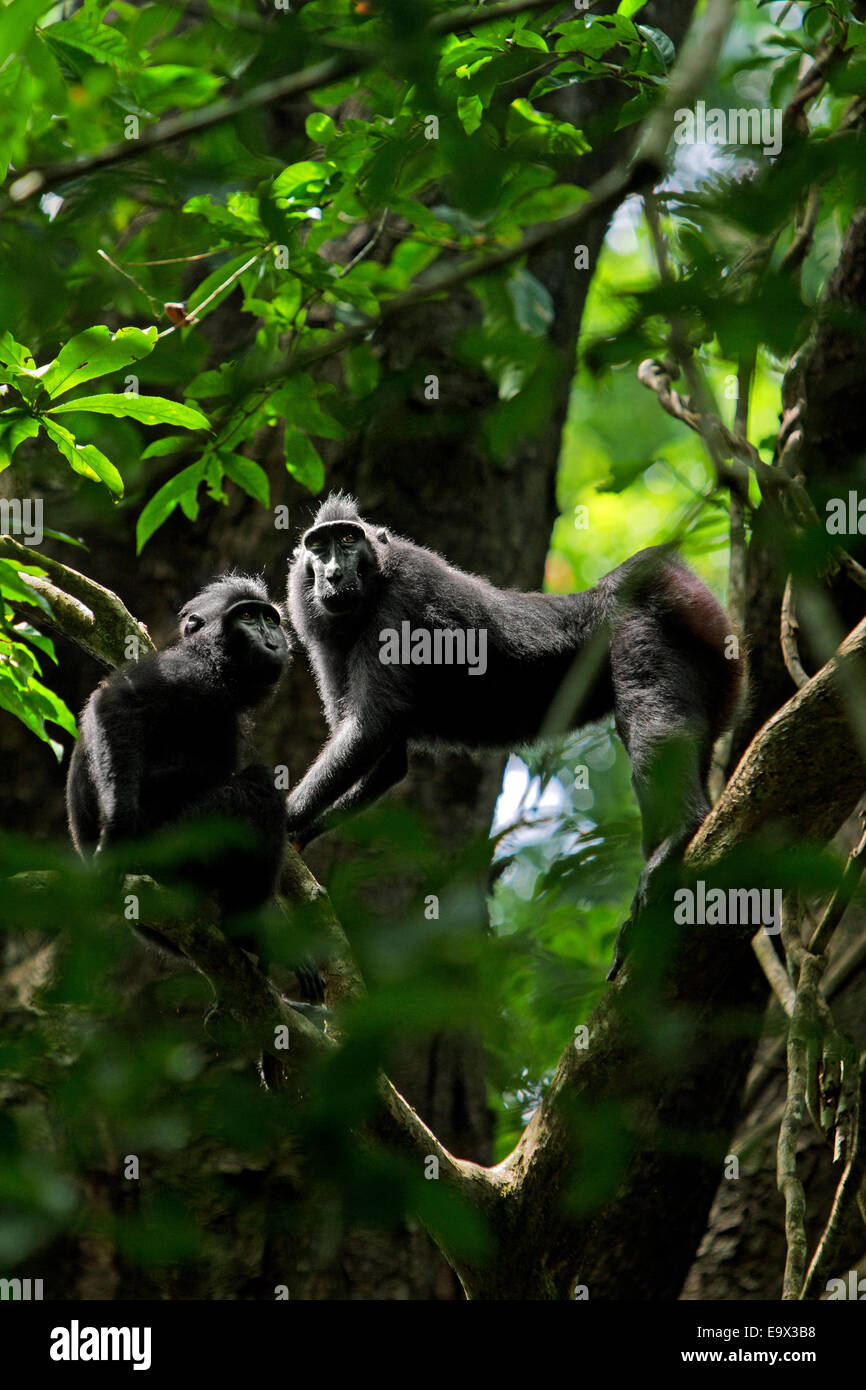 A pair of Sulawesi black-crested macaque (Macaca nigra) in Tangkoko nature reserves, North Sulawesi. © Reynold - Stock Image