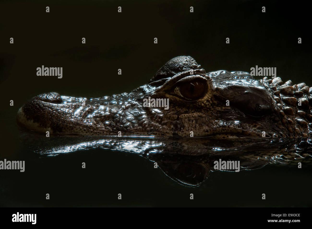 Black Caiman Malanosuchus niger Captive South America - Stock Image