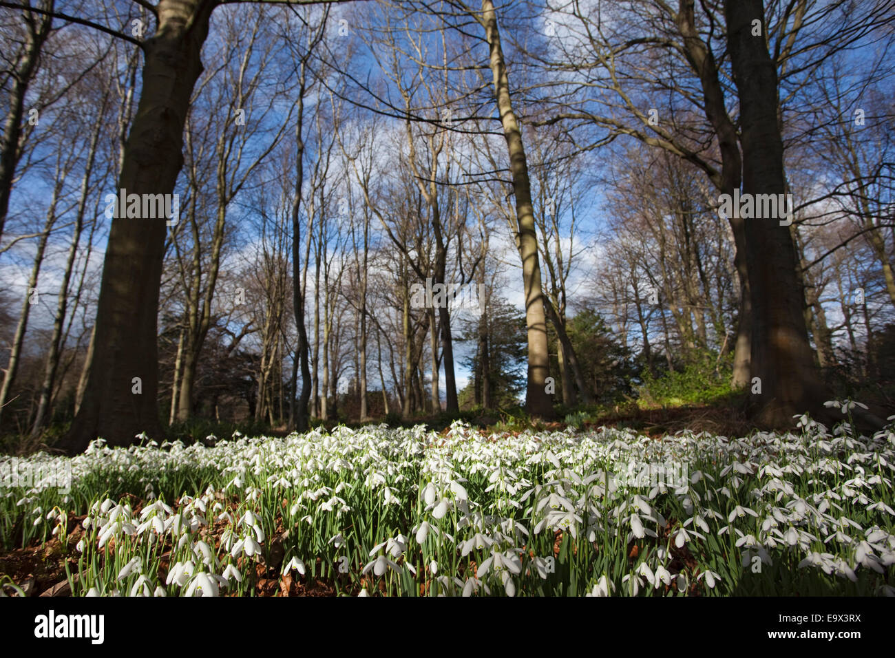 Snowdrops (Galanthus nivalis) in woodland, Howick Hall garden, Northumberland, UK, March 2009 - Stock Image