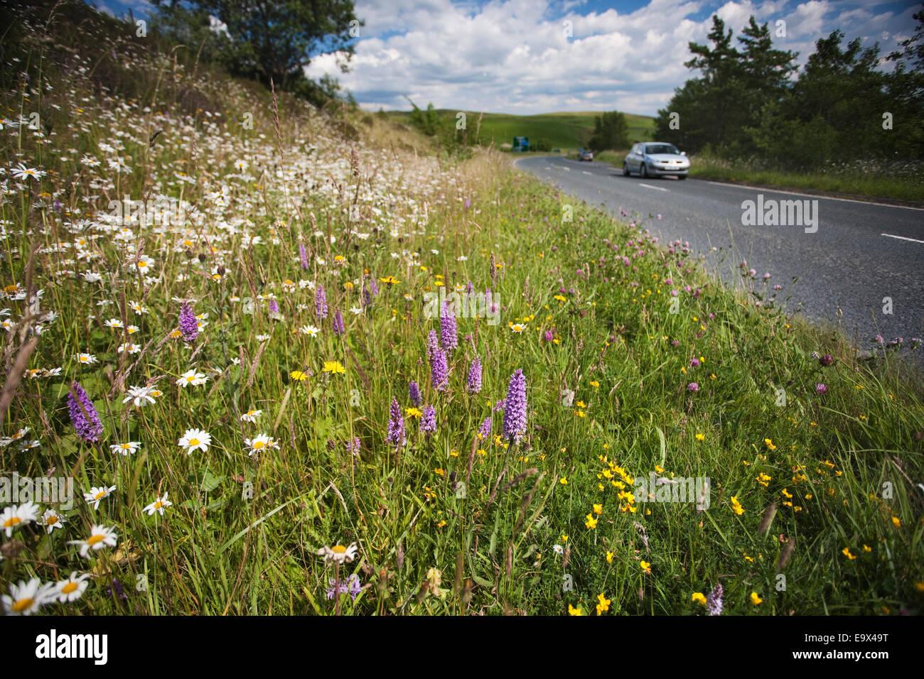Wildflowers growing on roadside verge, Cumbria, UK - Stock Image