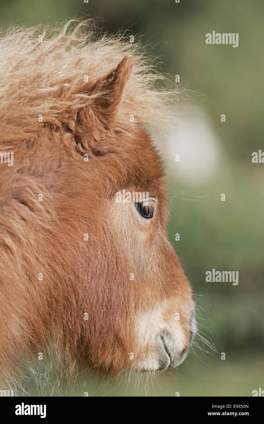 Portrait of a  Red Pony (Equus ferus caballus) Uk - Stock Image