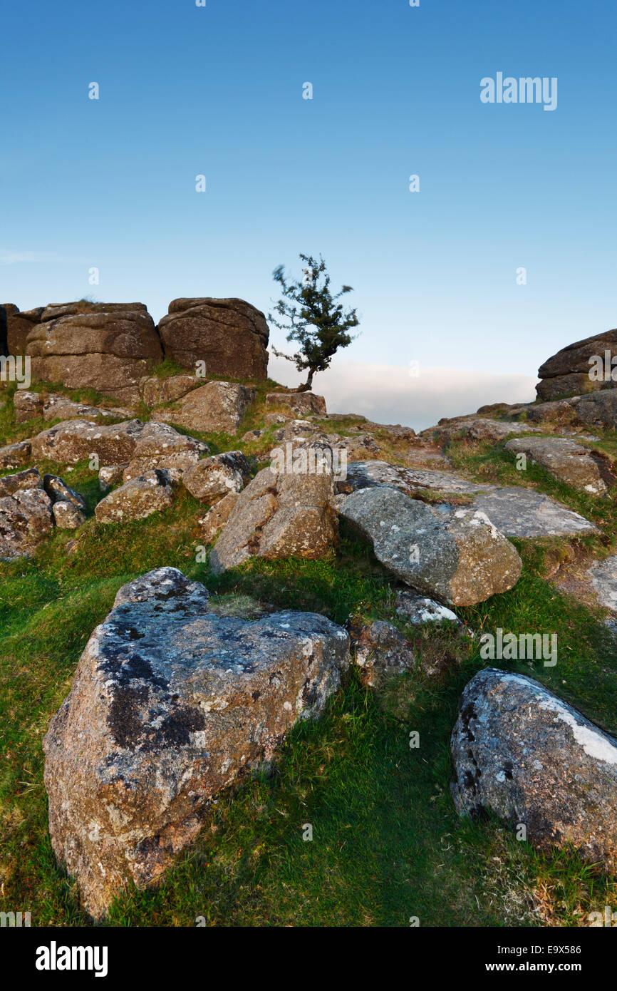 Lone Hawthorn Tree on Sharp Tor. Dartmoor National Park. Devon. UK. - Stock Image