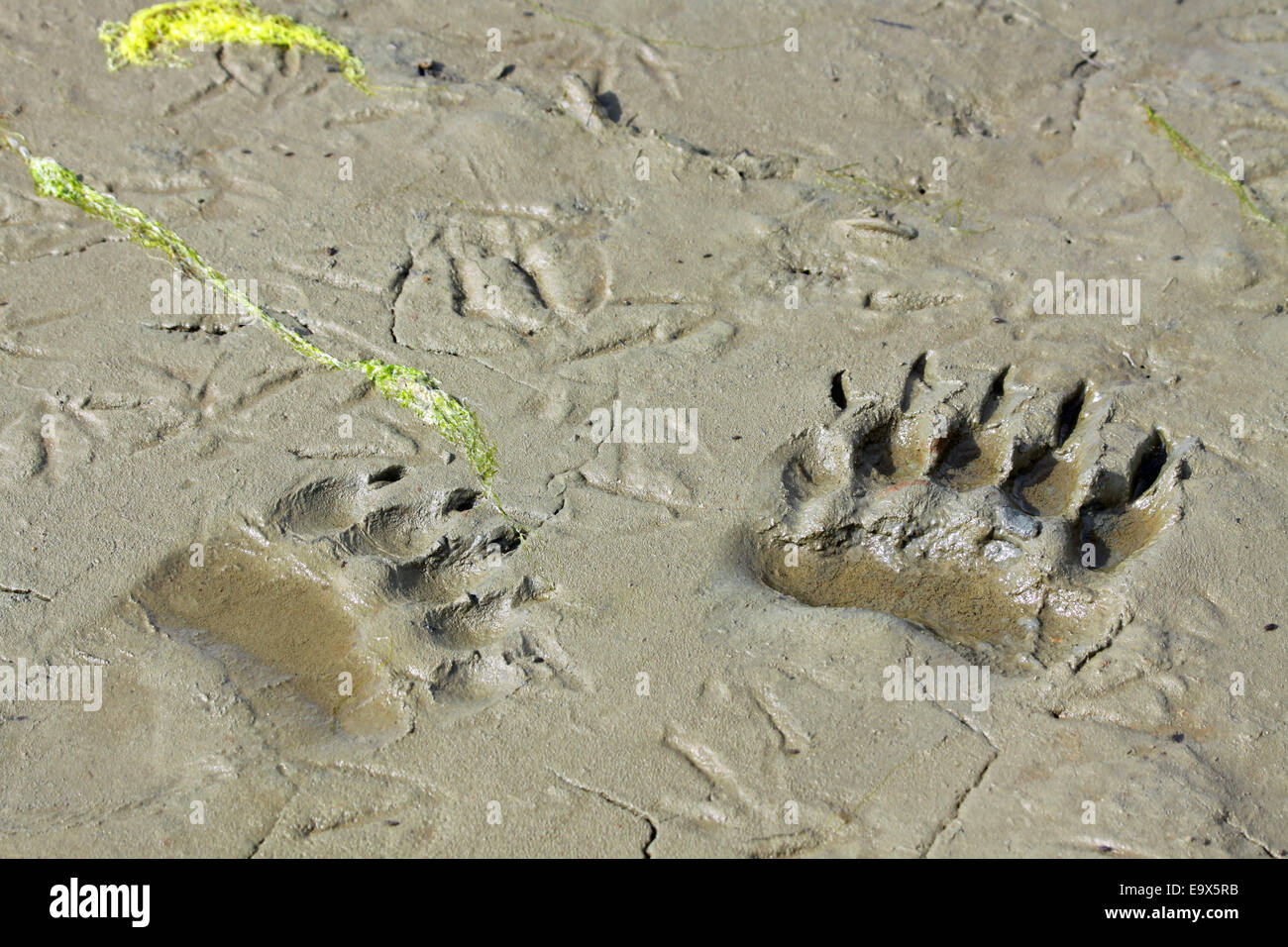 Grizzly Brown Bear tracks - Stock Image