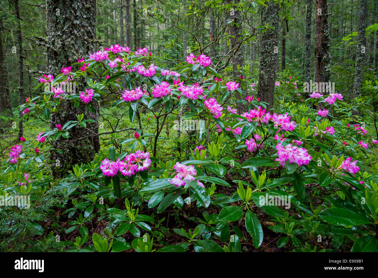 Pacific Rhododendron bushes in flower, Manning Provincial Park, British Columbia, Canada - Stock Image