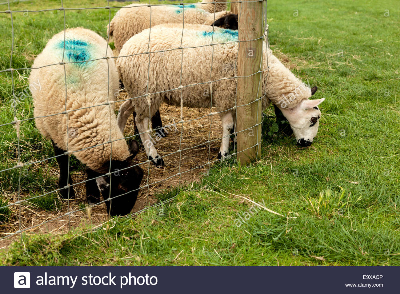 Grazing sheep with head poking through wire fence - Stock Image