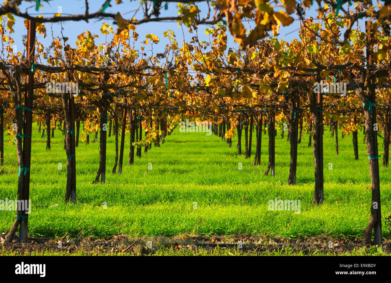 Looking Down Thru The Trellis System Of A Wine Grape