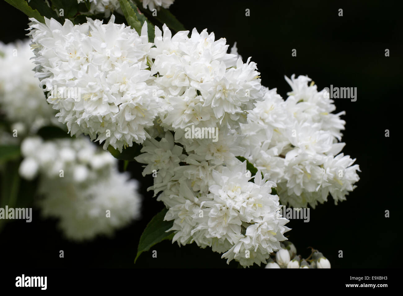 Pure White Flowers Of The Early Summer Flowering Deutzia Crenata