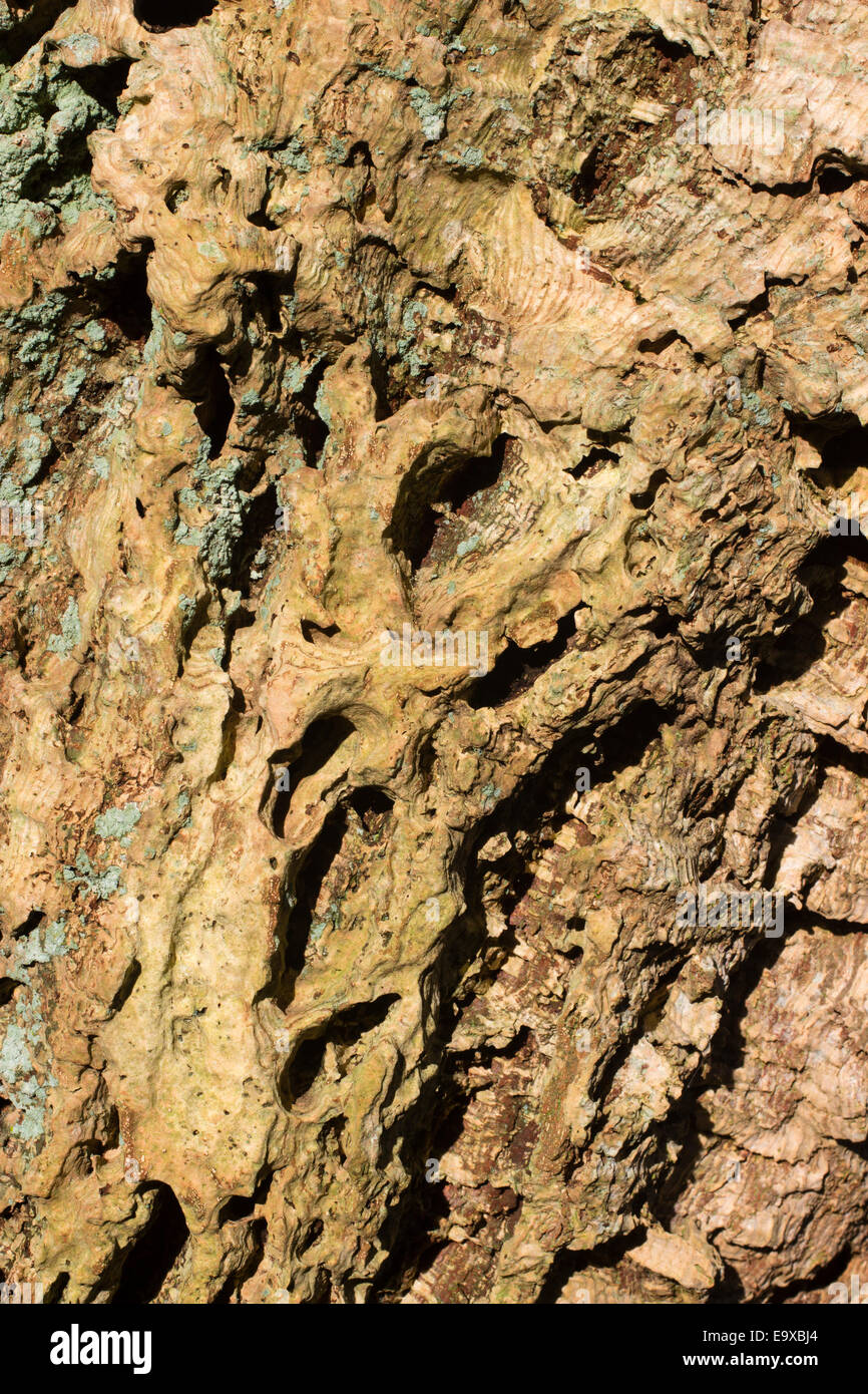 Pitted and ridged bark of the cork oak, Quercus suber - Stock Image