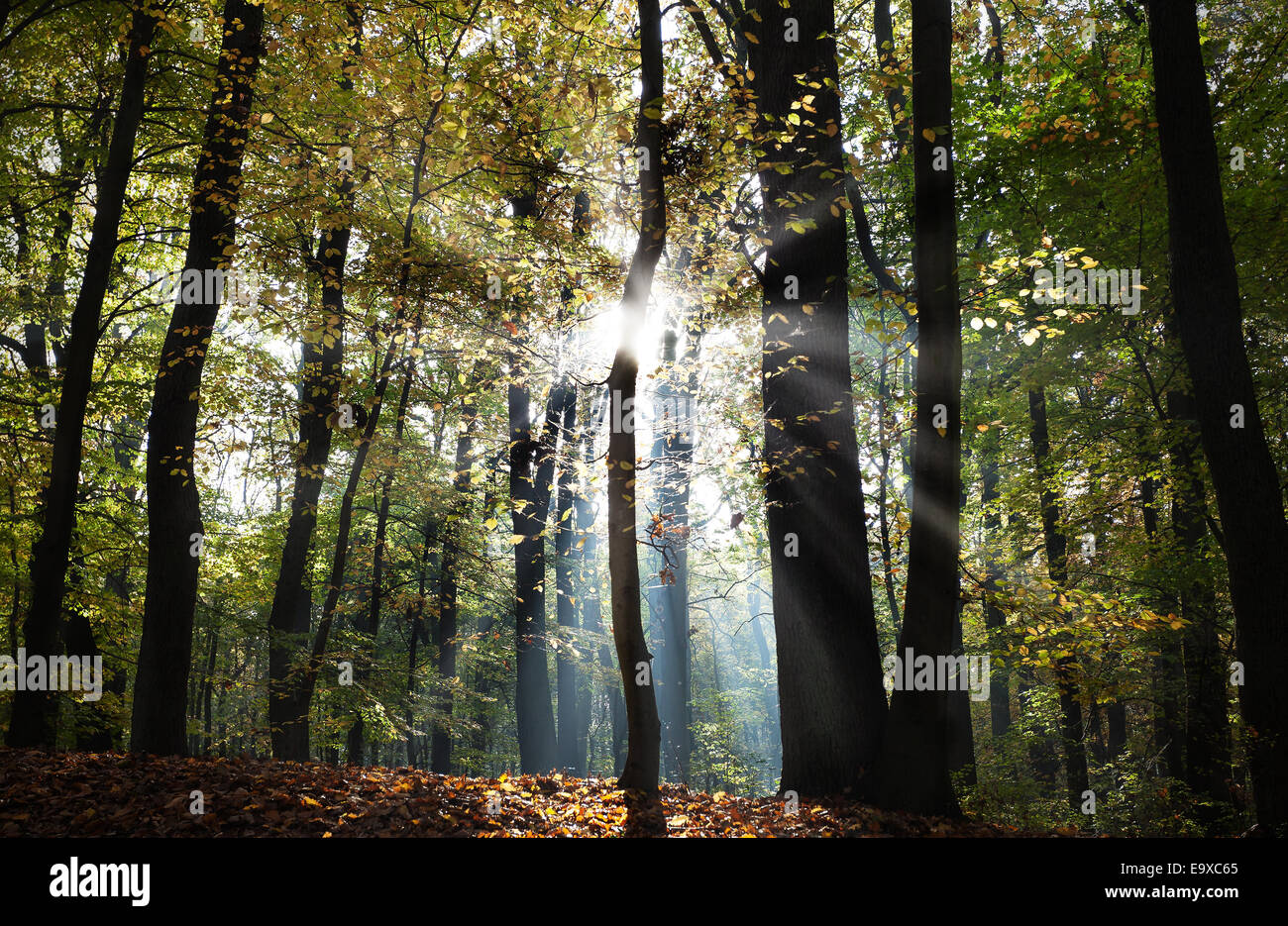 Mysterious dark autumn forest landscape with sunbeams. - Stock Image