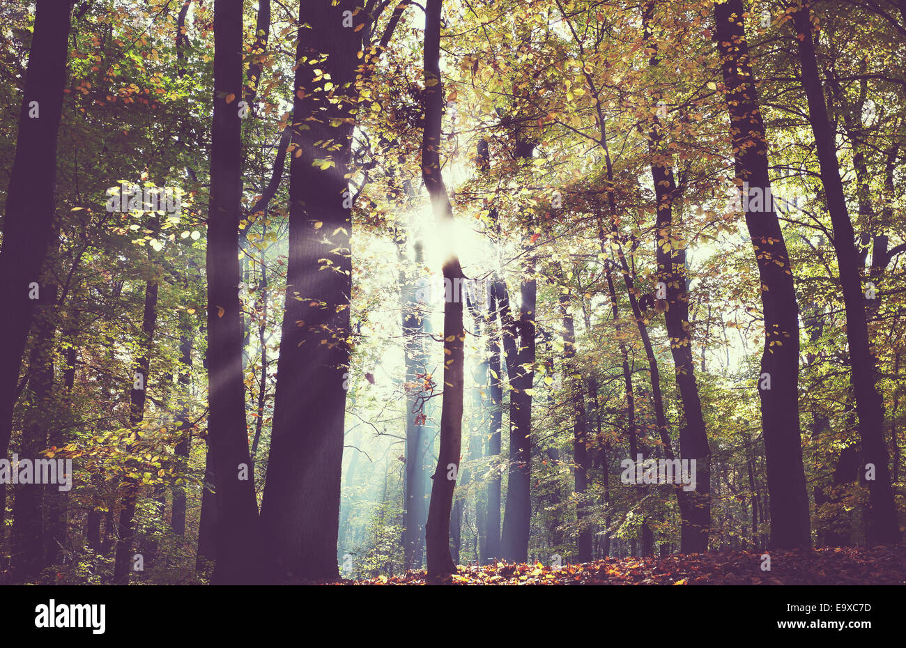 Vintage filtered picture of a dark autumn forest. - Stock Image