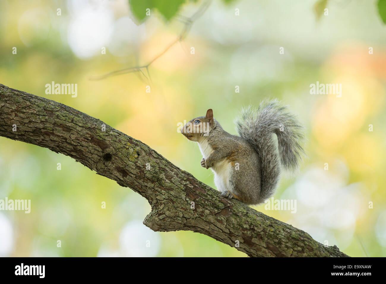 American grey squirrel in autumn light - Stock Image