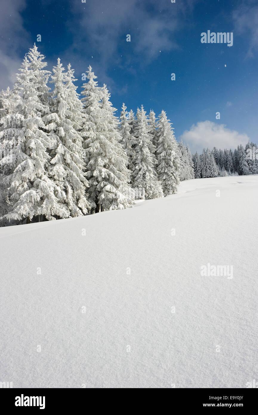 Snow-covered fir trees, Thurner, Sankt Märgen, Black Forest, Baden-Württemberg, Germany - Stock Image