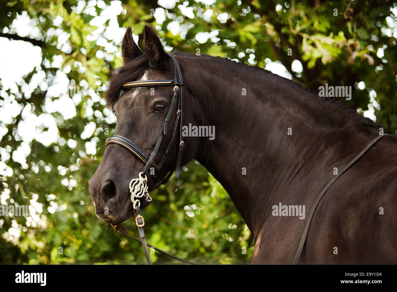 Friesian horse, mature gelding, with a bridle and a baroque harness Stock Photo