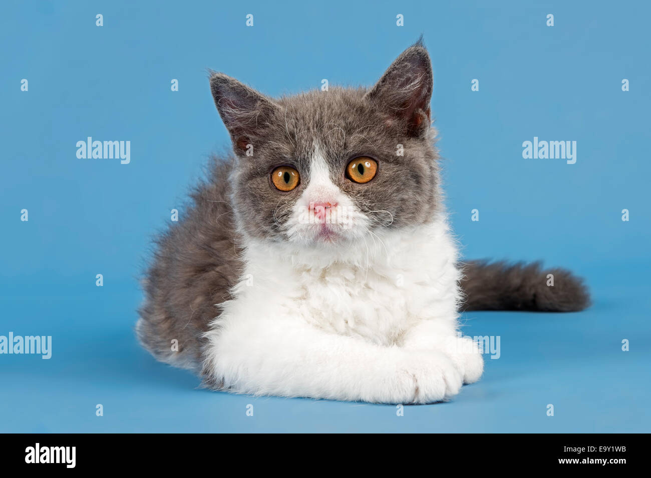Breed Selkirk Rex Kitten 10 Weeks Old Color Blue White