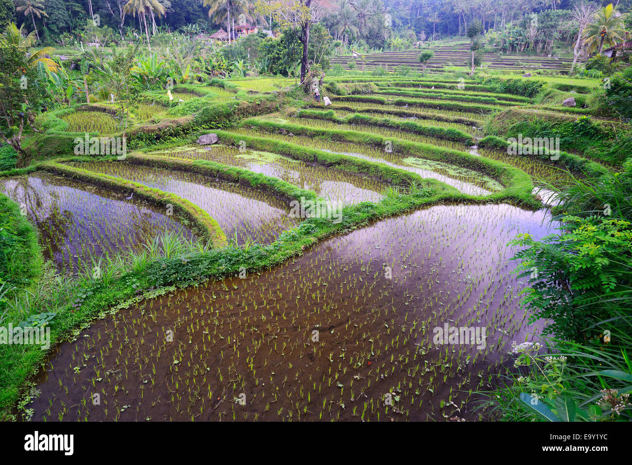 Rice paddies and rice terraces, Bali, Indonesia - Stock Image