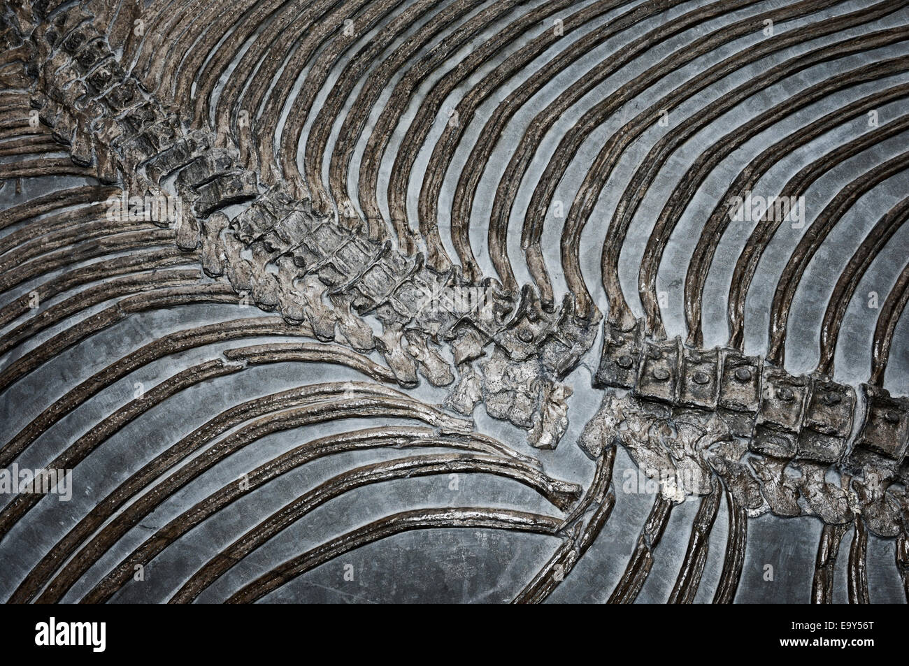 Fossilized dinosaur skeleton bones abstract closeup - Stock Image