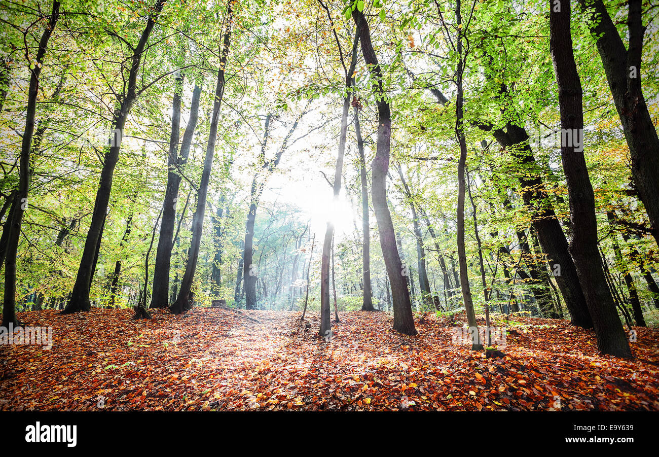 Mysterious autumn forest landscape with sunbeams. Stock Photo