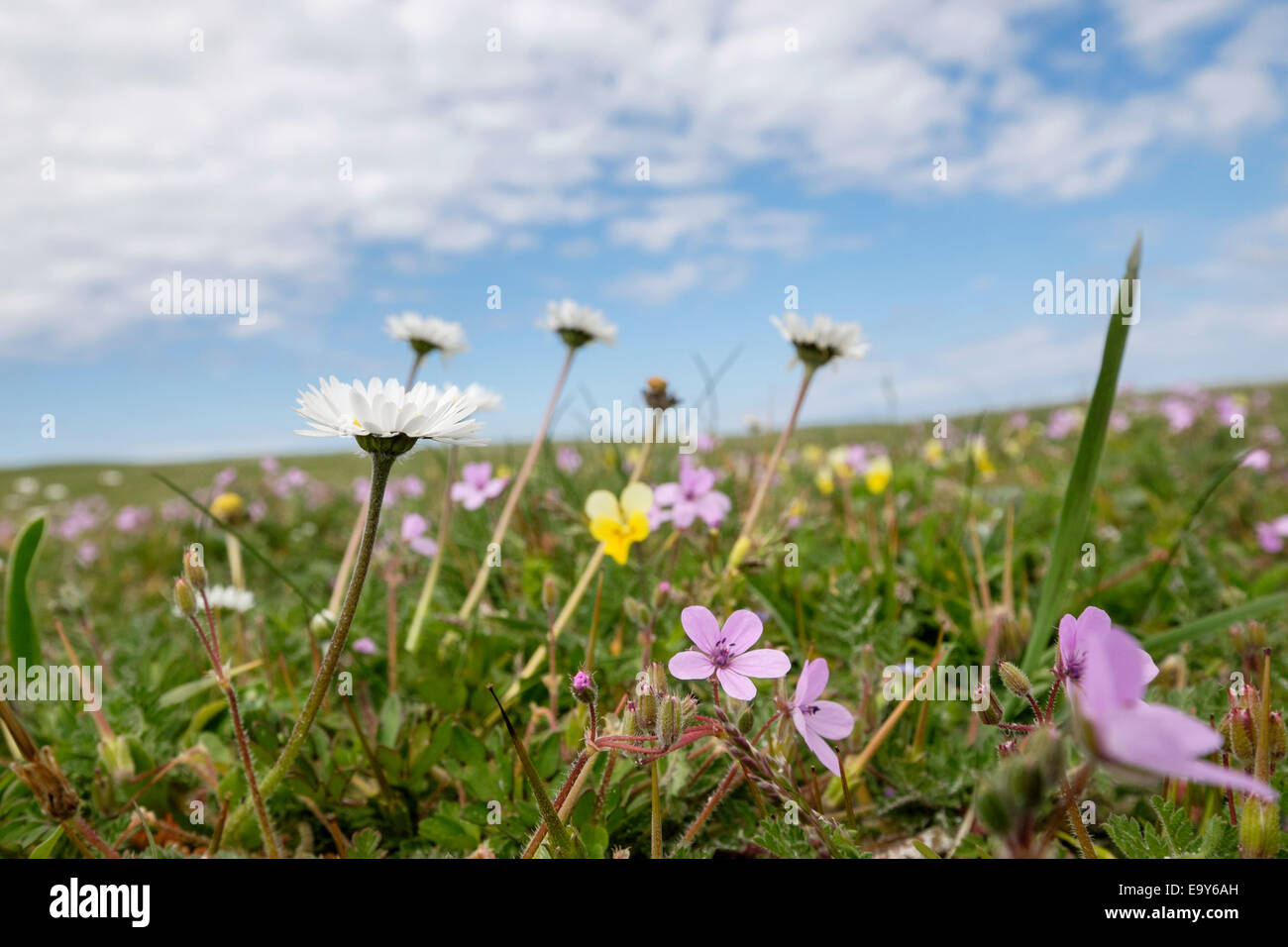 Low angle view of wildflowers growing in machair grassland in summer at Balranald RSPB Nature Reserve, North Uist, - Stock Image